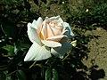 Rosa Lions-Rose 2019-06-05 6787.jpg