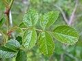 Rosa rubiginosa leaf (11).jpg