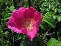 Rosa rugosa Sakhalin 3.JPG