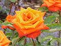 Rosa sp.230.jpg