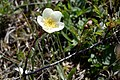 Rosa spinosissima inflorescence (61).jpg