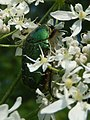 Rose Chafer Beetle on Hogweed in Gunnersbury Triangle.jpg