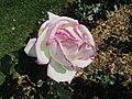 Rose Princesse de Monaco.jpg