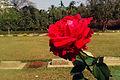 Rose in CWCC (01).jpg
