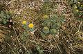 Rose root, Saggat (Sakkat), Jokkmokk, Lappland, Sweden (16092706853).jpg