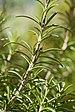 Rosmarinus officinalis (1).jpg