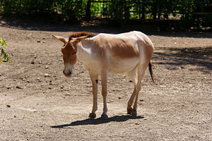 Onager - A Persian onager (Equus hemionus onager) at Rostov-on-Don Zoo, Russia.