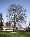 Rotbuche im Park der Kreuzschwesternschule in Steyr.jpg