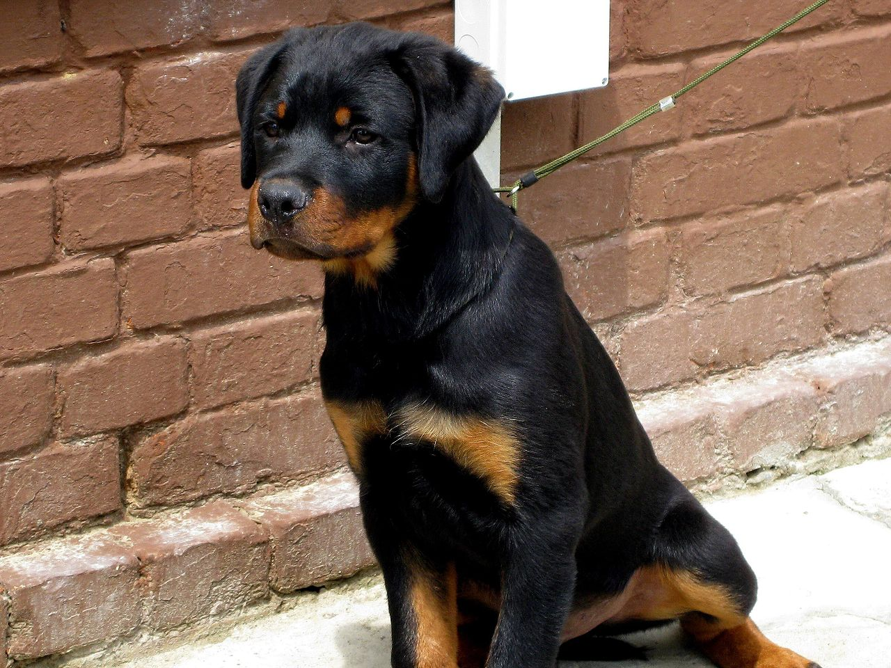 Image Result For Can Rottweilers Be