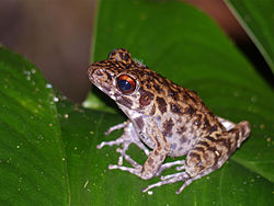 Rough-sided Frog (Hylarana glandulosa) (15326654290).jpg