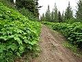 Rubus parviflorus (8094487635).jpg