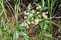 Rubus schmidelioides kz4.jpg
