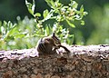 Ruby Mountain Chipmunk.JPG