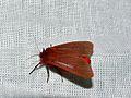 Ruby Tiger (Phragmatobia fuliginosa) (8331937791).jpg