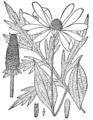 Rudbeckia laciniata-linedrawing-BB.png