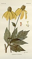Rudbeckia laciniata.jpg