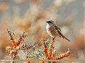 Rufous-backed Redstart (Phoenicurus erythronotus) (45487845944).jpg