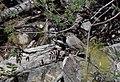 Rufous-crowned Sparrow (33884447341).jpg