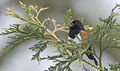 Rufous-sided Towhee, unknown location 2.jpg