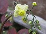 Ruhland, Grenzstr. 3, gelbe Elfenblume im Garten, blühend, Frühling, 03.jpg