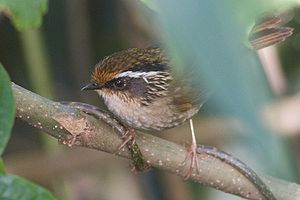 Rusty-capped fulvetta - From Khonoma Nature Conservation and Tragopan Sanctuary, Nagaland, India.