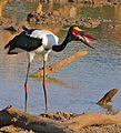 Saddle-billed Stork (Ephippiorhynchus senegalensis) male swallowing a Catfish (Clarias gariepinus) (33013911722).jpg