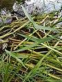 Sagittaria sagittifolia sl6.jpg
