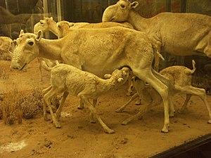 Saiga antelope - Stuffed saiga herd at The Museum of Zoology, St. Petersburg
