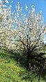 Sakura - panoramio (13).jpg