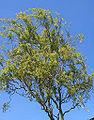 Salix.bab.Tortuosa(02).jpg