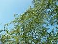 Salix alba 016.jpg