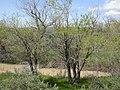 Salix amygdaloides (4018709804).jpg
