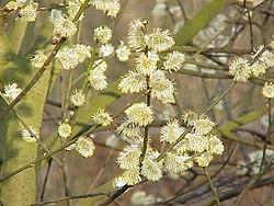 250px-Salix_caprea8.jpg