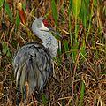 Sandhill Crane at Viera - Flickr - Andrea Westmoreland.jpg
