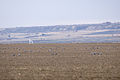 Sandhill Cranes dining on waste corn.jpg
