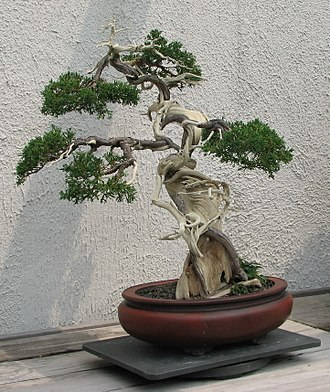 Bonsai cultivation and care - This juniper makes extensive use of both jin (deadwood branches) and shari (trunk deadwood).