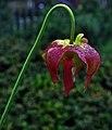 Sarracenia 'June Bug' (7238451972).jpg