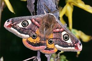 Saturniidae - Male small emperor moth, Saturnia pavonia (Saturniinae)