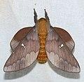 Saturniid Moth (Ptiloscola photophila) (39546553055).jpg