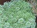 Saxifraga paniculata 'white hill' 2.JPG