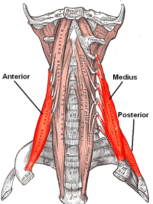 Scalene muscles - The anterior vertebral muscles.