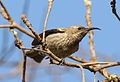 Scarlet-chested sunbird, Chalcomitra senegalensis, at Lake Chivero, Harare, Zimbabwe -- female (21246076854).jpg