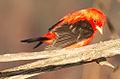 Scarlet Tanager2.jpg
