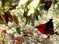 Scarlet honey eater by Margarette Allen - panoramio.jpg