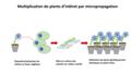 Schéma de la micropropagation.png
