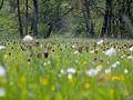 Schachbrettblumen Sinnwiesen 2.jpg