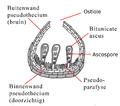 Scheme Pseudothecium von Didymella brioniae txt nl.png