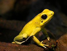 A yellow frog with black eyes
