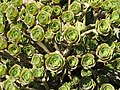 Scilly Succulents - geograph.org.uk - 822415.jpg