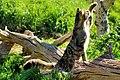 Scottish Wildcat - Explored -) (18989583708).jpg